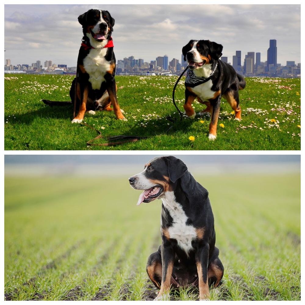 Описание самой древней породы собак – большого швейцарского зенненхунда