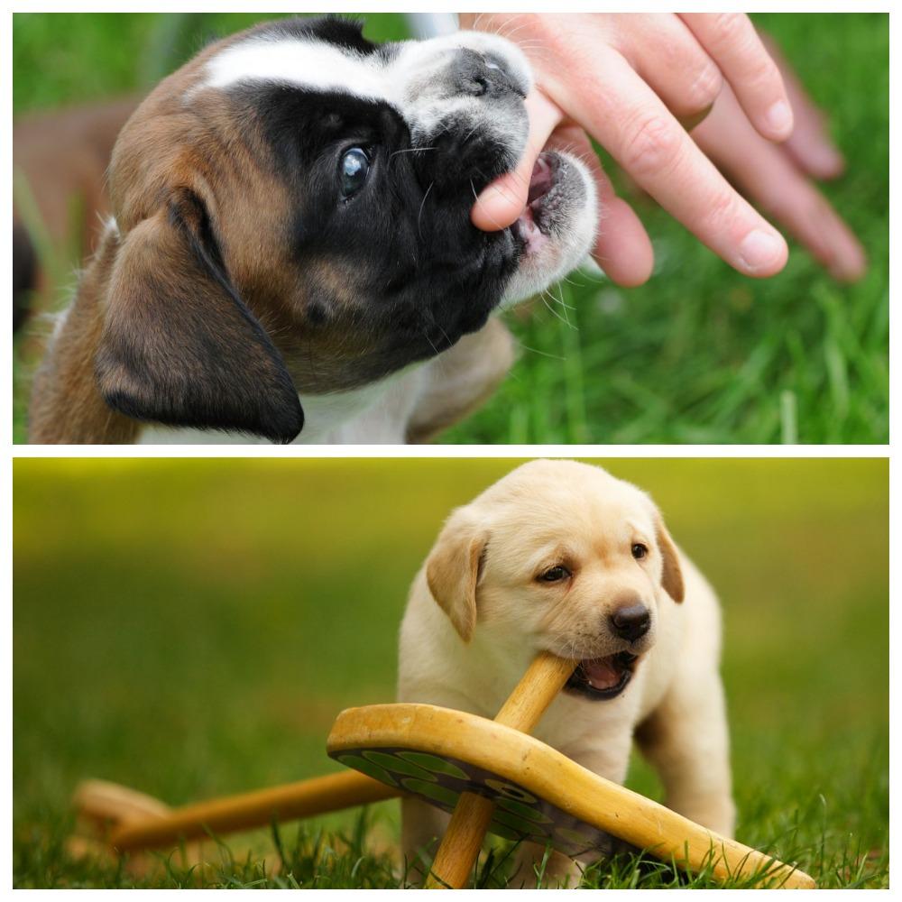 Как правильно отучить щенка кусаться