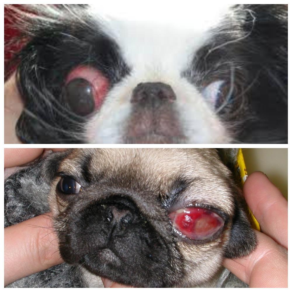 Выпадают глаза у собак